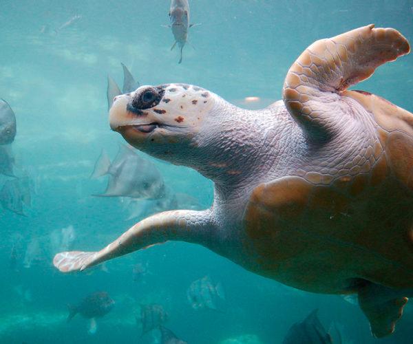 1024px-Loggerhead_sea_turtle_wikimediacommons