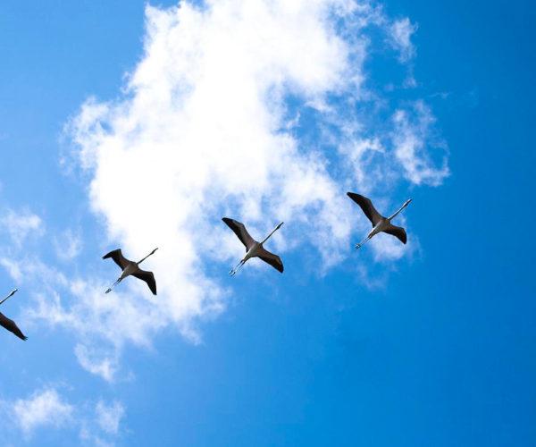 Pelicans at Vendicari Reserve- Marco Garro